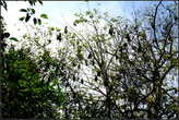 В  саду  есть  несколько  деревьев, облюбованных  летучими  мышами.  Их  так много, что  деревья  полностью  облеплены  ими.