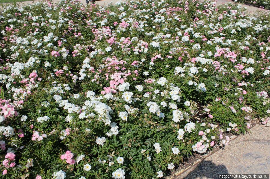 Лазенковские розы.