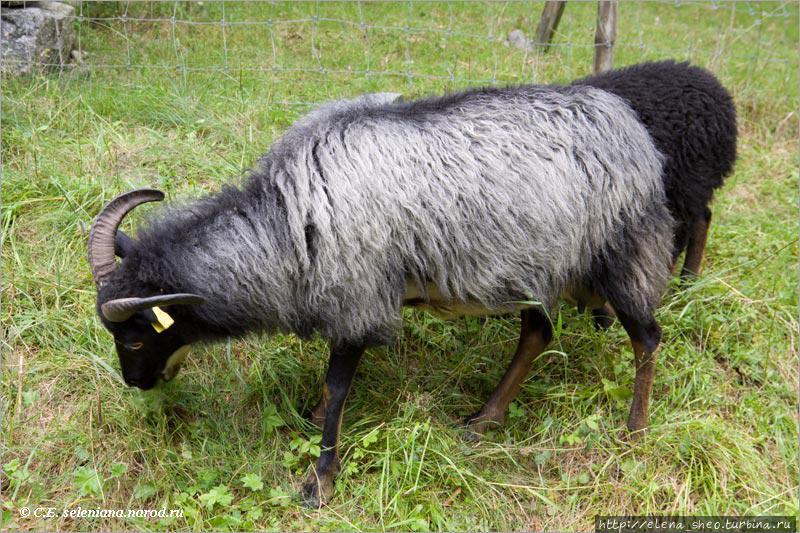 16. Овцы щиплют траву, что они делают большую часть своей жизни.
