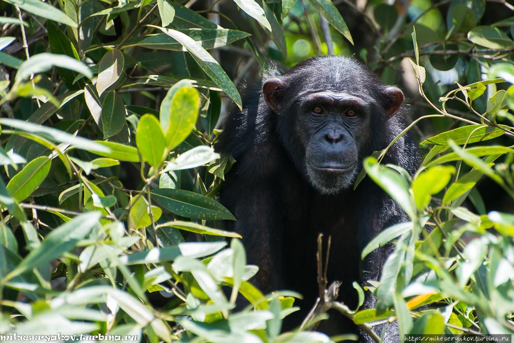 Остров обезьян Маршалл, Либерия