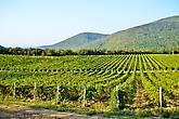 Виноградник, расположившийся на склонах гор, по дороге в село Дюрсо, что на берегу Черного моря.