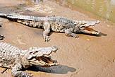...Я завела дома африканского крокодила! — А соседи не жалуются? — КАКИЕ СОСЕДИ!?...