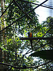 Красно-желтые ара. Те самые, что стаями летают в Амазонии. Очень ходовой товар у контрабандистов.