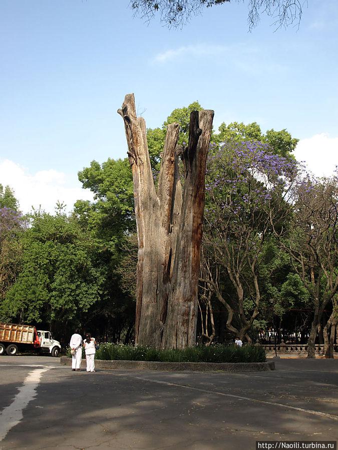 Дерево Эль Сархенто жило более 500 лет, достигло 12.5 метров в ширину и 40 метров в высоту, но все-таки засохло.