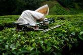 Машинка  для  стрижки  чайных  листьев.  Основную  массу  чая  снимают  механическим  способом,  а  наиболее  ценные  сорта  снимаются  вручную.