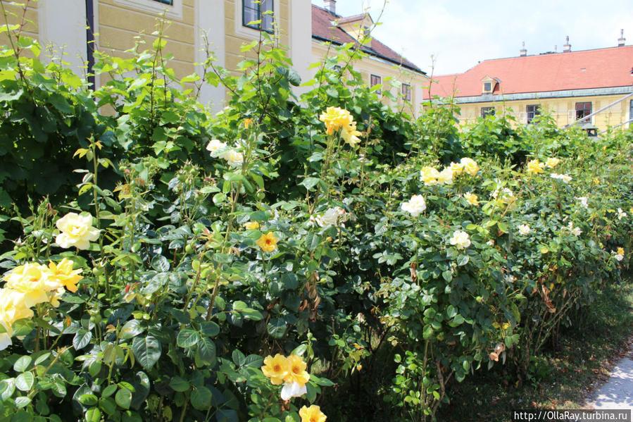 Венские розы