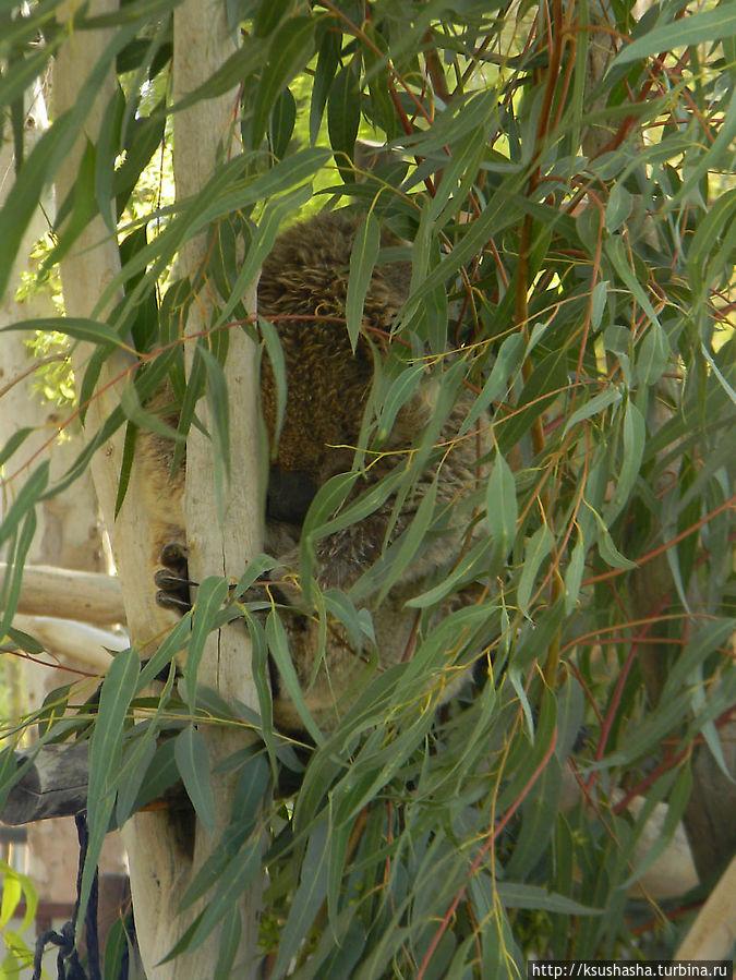 коала, которая прячется в листьях эвкалипта
