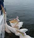 Избалованные пеликаны