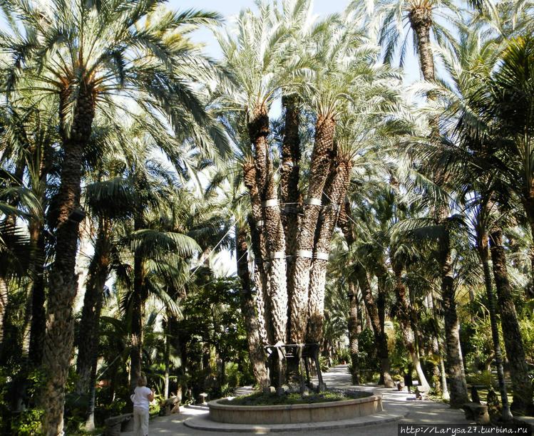 Императорская пальма — на
