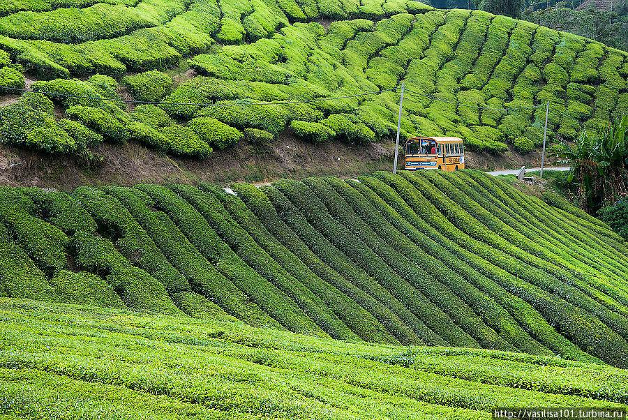 Чайные плантации — Sungai Palas Boh Tea Estate Танах-Рата, Малайзия