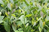 Листья Лунцзиня