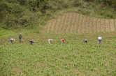Окучивание картофеля в одном из многочисленных полей Перу