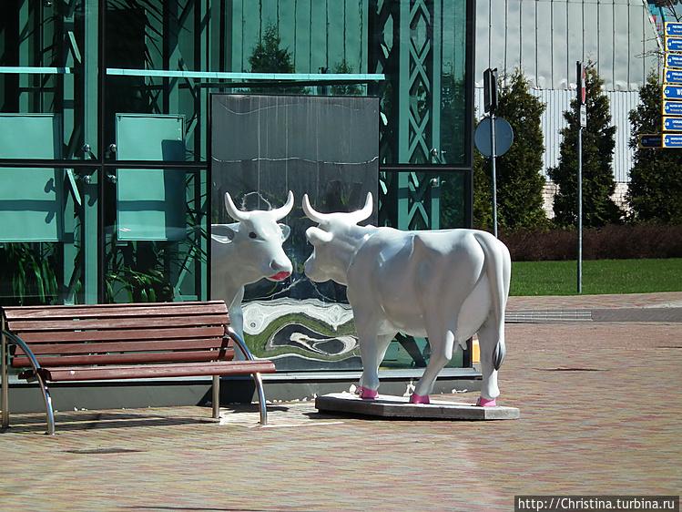 Коровы почему то повсюду