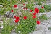 О, так приятно увидеть здесь цветы мака! Видать, каким-то ветром занесло с гор. Не мудрено, что мароканцы любят побаловаться наркотой — в горных районах мака много.