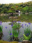 водные ирисы цветут — май