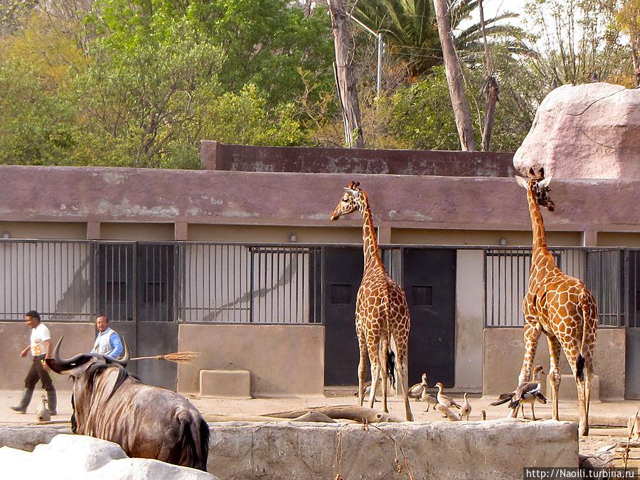 А эти жирафы погнались за рабочими вольера, так что их пришлось отгонять метлой