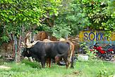 Коров можно встретить во дворе городского дома