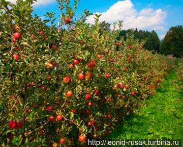 Современный способ выращивания яблоневых насаждений — с подрезкой плотных рядов саженцев, что обеспечивает их низкорослость, кустистость и быстрые сроки плодоношения.