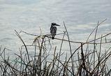 наш старый знакомый черно-белый зимородок