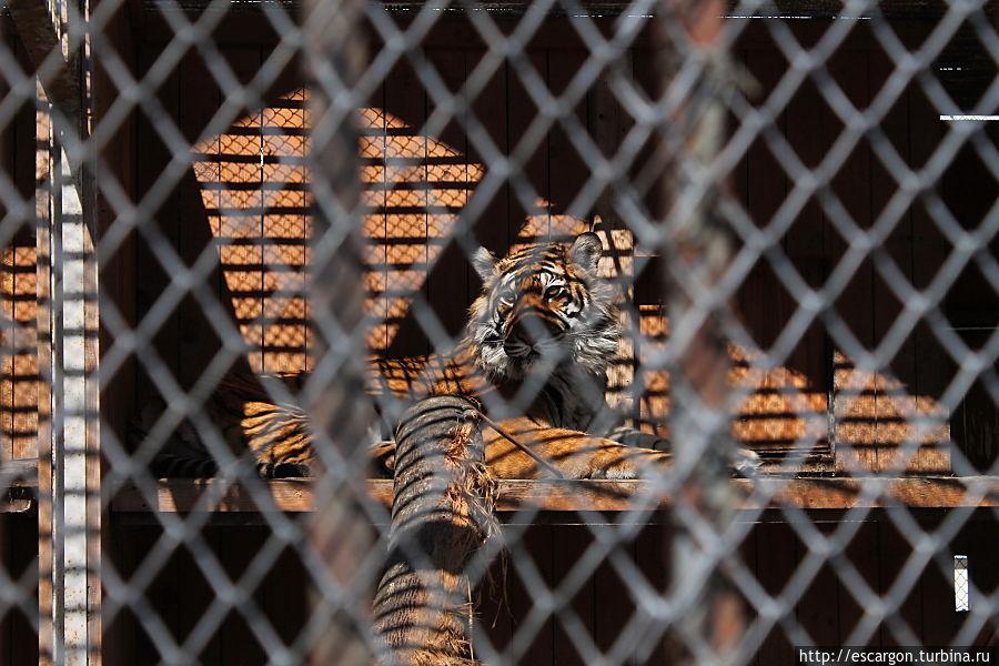 Амурский тигр (Panthera tigris altaica)  Один из самых малочисленных подвидов тигра, самый северный и крупный тигр. Ареал тигра сосредоточен в охраняемой зоне на юго-востоке России, по берегам рек Амур и Уссури в Хабаровском и Приморском крае. Всего в России на 1996 год насчитывалось около 415—476 особей. Около 10 % (40—50 особей) популяции амурского тигра обитает в Китае (Манчжурия).