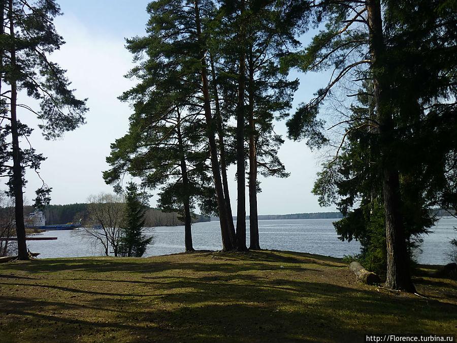 Сосновый бор на берегу Волги, ради которого стоит ехать в Конаково