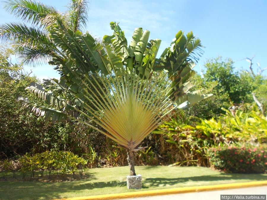 Веерная пальма фото