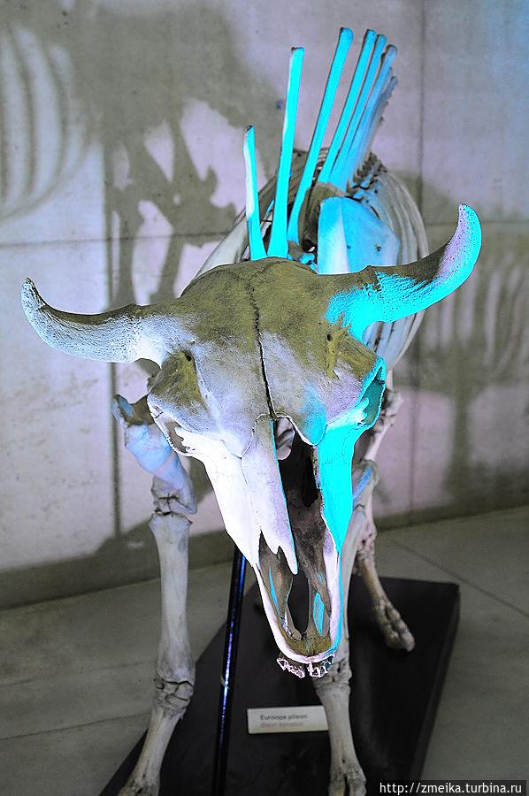 В зале живой природы есть и неживые экспонаты — скелеты различных животных