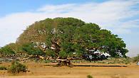 Фикус в долине Дегера