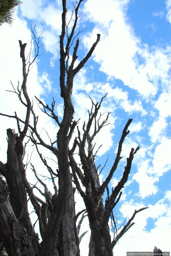 Деревья, высохшие от ветр
