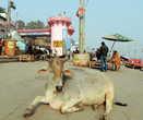 И корова — главная хранительница всех индийских традиций. Потому-то она и считается священным животным
