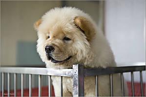 Чау-чау — очень забавная китайская порода.  По одной из легенд чау-чау произошли от медведя. Язык голубовато-чёрного цвета, манера передвигаться, телосложение и строение черепа, — заставляют задуматься. В Северной Корее блюда из чау-чау до сих пор являются местным деликатесом, а китайцы кушали в прошлом только не чистокровных собак.
