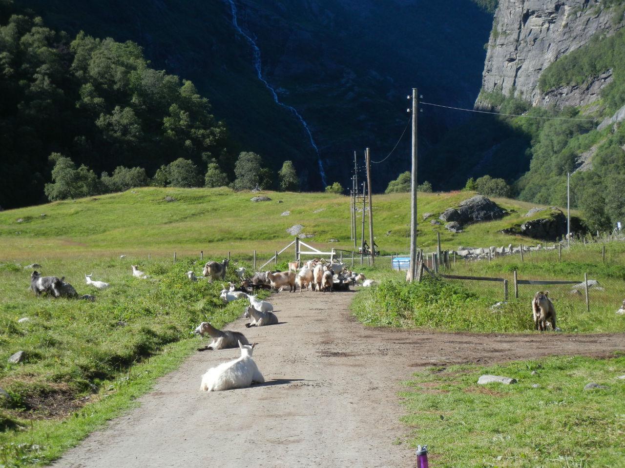 Kardal — cамая высокогорная ферма Фломской долины. Здесь придется притормозить... Финсе, Норвегия