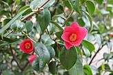 Время цветения: февраль-апрель. Цветы, число которых доходит до 35 000, имеют форму колокольчиков, карминно-красную окраску и не имеют запаха.