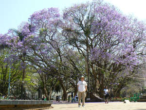 Цветущая жакаранда в столице Зимбабве Хараре