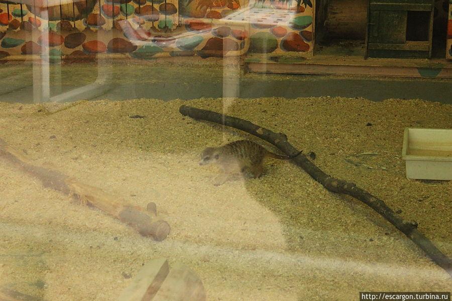 Сурика́т ( Suricata suricatta).  Распространён в Южной Африке, в основном, в районе пустыни Калахари: на территориях юго-западной Анголы, Намибии, Ботсваны и ЮАР, раньше их замечали и на Мадагаскаре.