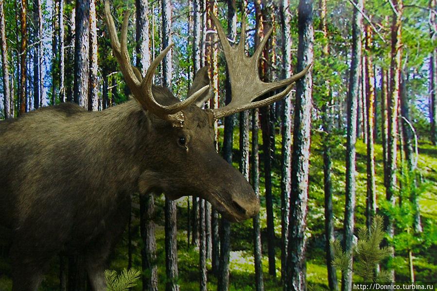говорят что большинство северных оленей ушли в соседнюю Норвегию, а лосей вообще немного осталось