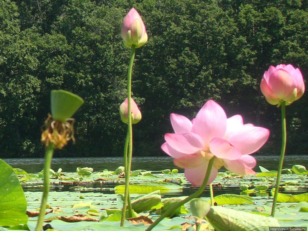 Все стадии цветения лотоса