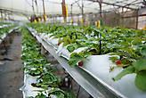 Так выращивают клубнику в Малайзии