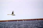 Лебедь на раскатах