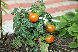 Вернулись домой... к родным помидорам:))
