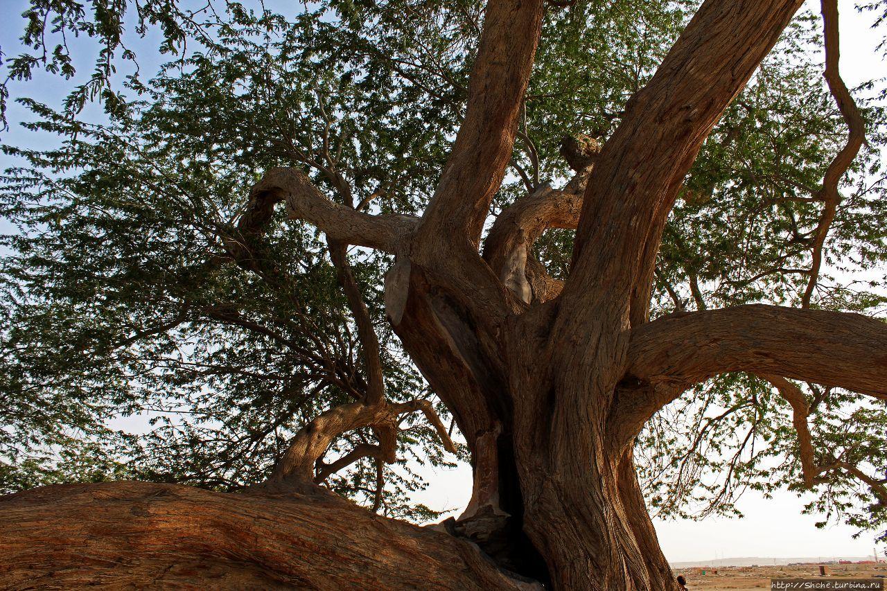 Дерево жизни (Шаджарат-аль-Хаят) Джав, Бахрейн