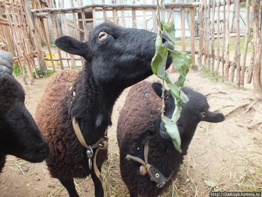 Мини-овечки