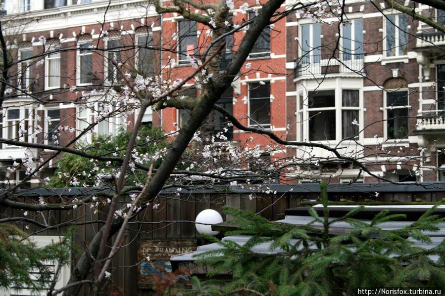 Цветущая вишня в январе!! Амстердам, Нидерланды
