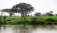 Бегемоты есть практически в любом водоеме Серенгети. Они никуда не мигрируют
