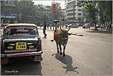 Обожаю такие картины. Где еще увидишь коров, так спокойно разгуливающих по многомиллионному мегаполису... *