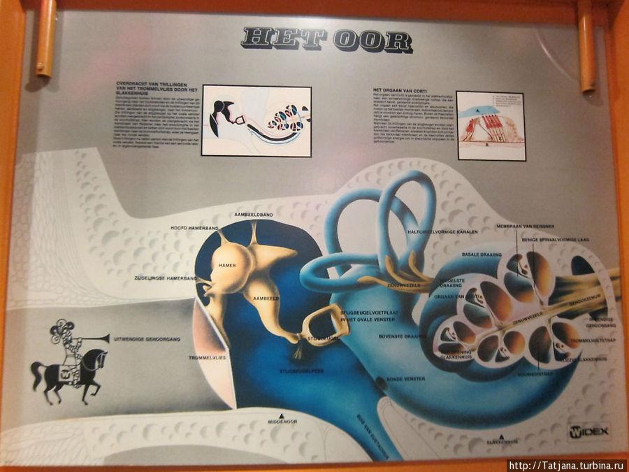 Строение слухового аппарата