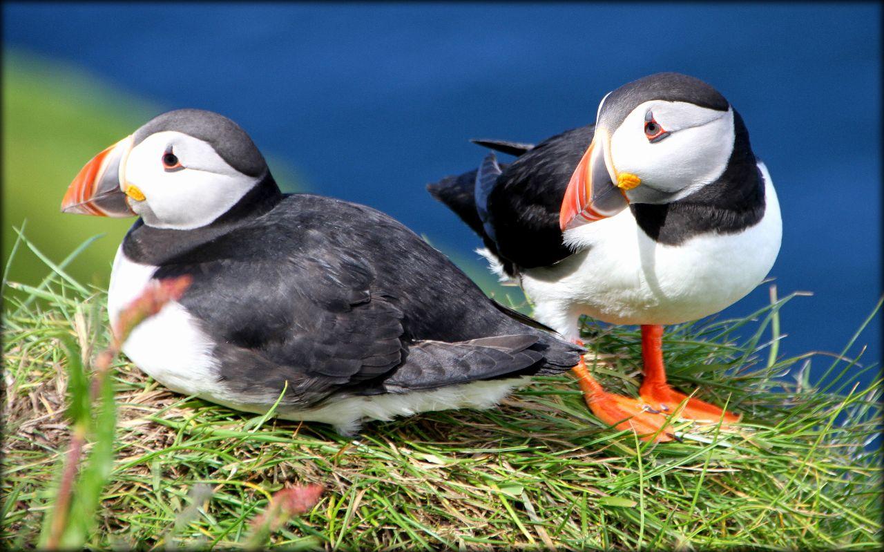 Носатый толстячок или пернатое очарование Фарерских островов Остров Мичинес, Фареры