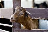 Рядом с нашим отелем был мини-зоопарк. Козы, обезьяны. Вот только странно, зачем они большую собаку посадили в клетку... Египетские козы оказались очень изящными созданиями. Приносишь им булочки из столовой, они просовывают голову сквозь забор, и кормишь их прямо из рук. Особенно это нравилось детям... *