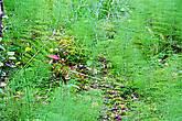 вокруг растет множество папоротников среди которых можно заметить грибы.