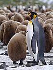 пришли пингвины к непингвину  и окружили с всех сторон  на лицах их попеременно  то омерзение то грусть